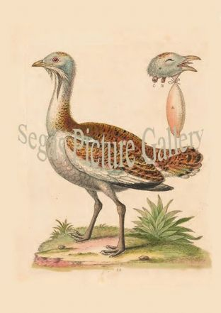 Bustard, The Cock
